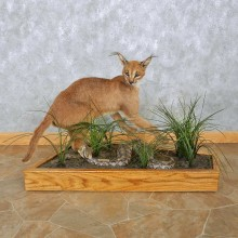 Caracal Cat w/ Gaboon Viper Taxidermy Mount For Sale