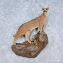 Caracal Cat Life-Size Taxidermy Mount For Sale