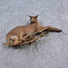 Caracal Life-Size Taxidermy Mount For Sale