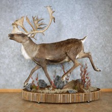 Barren-Ground Caribou Life-Size Taxidermy Mount For Sale