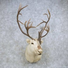 Peary Caribou Taxidermy Shoulder Mount For Sale