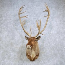 Barren Ground Caribou Shoulder Mount For Sale #14613 @ The Taxidermy Store