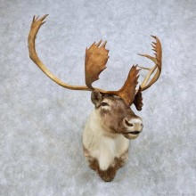 Quebec Labrador Caribou Taxidermy Shoulder Mount For Sale