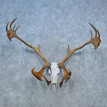 Caribou Skull Antler European Taxidermy Mount For Sale