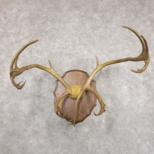 Caribou Plaque Taxidermy Mount For Sale #22352 @ The Taxidermy Store
