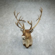 Barren Ground Caribou Shoulder Mount For Sale #18348 @ The Taxidermy Store