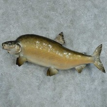 Common Carp Taxidermy Fish Mount #13386 For Sale @ The Taxidermy Store