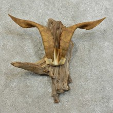 Catalina Goat Antler Mount For Sale #15990 @ The Taxidermy Store