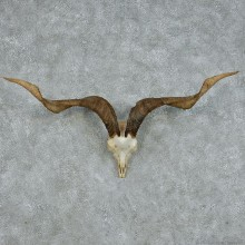 Catalina Goat Skull & Horns Taxidermy Mount #13100 For Sale @ The Taxidermy Store