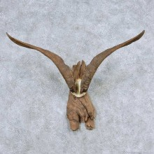 Catalina Goat Horns Taxidermy Mount For Sale