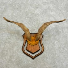 Catalina Goat Horn Mount For Sale #16011 @ The Taxidermy Store