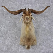 White & Tan Catalina Goat Shoulder Head Mount #12472 For Sale @ The Taxidermy Store