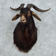 Black Catalina Goat Shoulder Mount