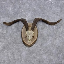 Catalina Goat Taxidermy Horn Plaque Mount #10007 For Sale @ The Taxidermy Store