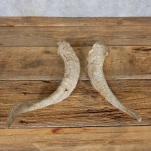 Catalina Goat Horn Set For Sale #14960 @ The Taxidermy Store
