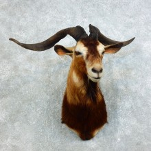 Catalina Goat Taxidermy Shoulder Mount For Sale