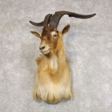 Catalina Goat Shoulder Mount For Sale #22273 @ The Taxidermy Store