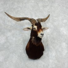 Catalina Goat Shoulder Taxidermy Mount For Sale
