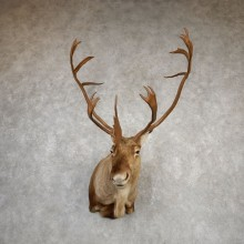 Central Canada Barren Ground Caribou Shoulder Mount For Sale #20337 @ The Taxidermy Store