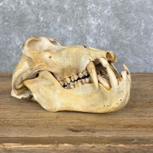 Chacma Baboon Taxidermy Full Skull Mount #22712 For Sale @The Taxidermy Store