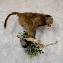 Chacma Baboon Taxidermy Life-Size Mount For Sale
