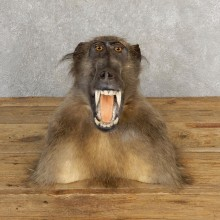 Chacma Baboon Taxidermy Shoulder Mount #21119 For Sale @The Taxidermy Store