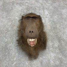 Chacma Baboon Taxidermy Shoulder Mount #21465 For Sale @The Taxidermy Store