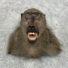 Chacma Baboon Taxidermy Shoulder Mount #21729 For Sale @The Taxidermy Store