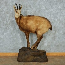 Alpine Chamois Standing Life-Size Mount #13472 For Sale @ The Taxidermy Store