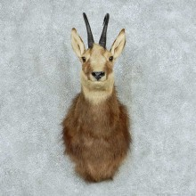 Alpine Chamois Shoulder Mount #13736 For Sale @ The Taxidermy Store