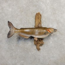 Channel Catfish Taxidermy Fish Mount #20896 For Sale @ The Taxidermy Store