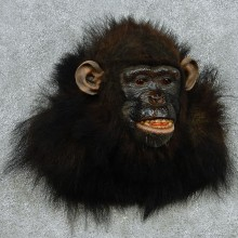 Reproduction Chimpanzee Taxidermy Shoulder Mount For Sale