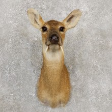 Chinese Water Deer Taxidermy Shoulder Mount For Sale
