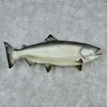 "36"" Silver Chinook King Salmon Fish Mount"