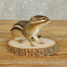 Chipmunk Life-Size Mount For Sale #15966 @ The Taxidermy Store