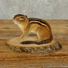 Chipmunk Life-Size Mount For Sale #15968 @ The Taxidermy Store