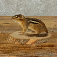Chipmunk Life-Size Mount For Sale #15969 @ The Taxidermy Store