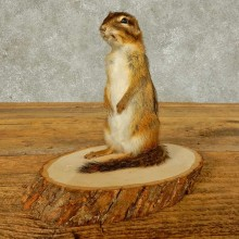 Chipmunk Life-Size Mount For Sale #16332 @ The Taxidermy Store