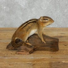 Chipmunk Life-Size Mount For Sale #18187 @ The Taxidermy Store