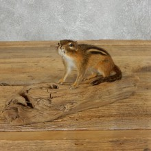 Chipmunk Life-Size Mount For Sale #18189 @ The Taxidermy Store