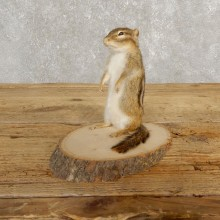 Chipmunk Life-Size Mount For Sale #20250 @ The Taxidermy Store