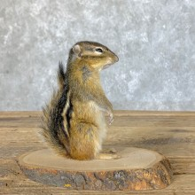Chipmunk Life-Size Mount For Sale #22636 @ The Taxidermy Store