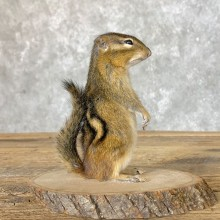 Chipmunk Life-Size Mount For Sale #22639 @ The Taxidermy Store