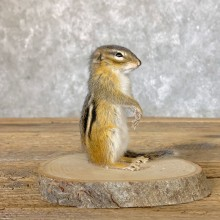 Chipmunk Life-Size Mount For Sale #22640 @ The Taxidermy Store