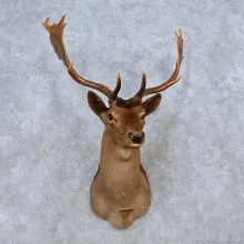 Chocolate Fallow Deer Shoulder Mount For Sale #14571 @ The Taxidermy Store