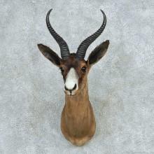 African Black Springbok