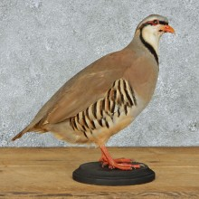 Chukar Partridge Life Size Taxidermy Mount #13095 For Sale @ The Taxidermy Store