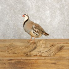Chukar Taxidermy Mount For Sale #20630 @ The Taxidermy Store