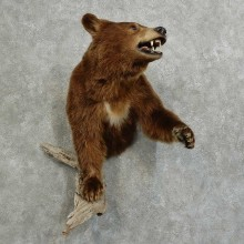 Cinnamon Bear 1/2-Life-Size Mount For Sale #16095 @ The Taxidermy Store