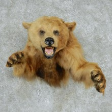 Cinnamon Bear Half-Life-Size Taxidermy Mount #13141 For Sale @ The Taxidermy Store